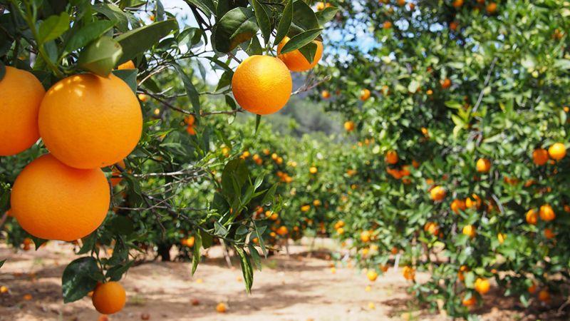 Coating for Citrus Fruits